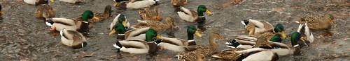 kielce wiadomości One zimują w Kielcach – zakończono liczenie ptaków