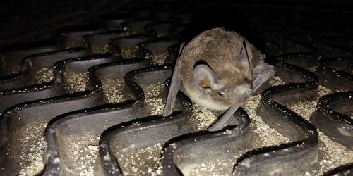 kielce wiadomości Nietoperz znaleziony na Słonecznym Wzgórzu trafił do jaskini n