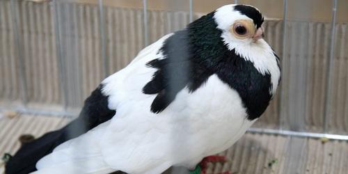 kielce wiadomości Najpiękniejsze gołębie w Targach Kielce