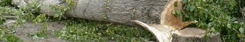 kielce wiadomości Rozpoczęła się wycinka drzew przy alei Tysiąclecia - zdjęcia