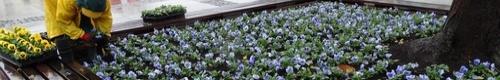 kielce wiadomości W centrum Kielc kwitną bratki (zdjęcia)